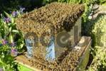 Thumbnail Bee swarm collected by beekeeper is moving into new hive