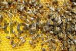 Thumbnail Apis melifera ssp carnica bees agglomerate on freshly contructed beecomb filled with honey from flowers