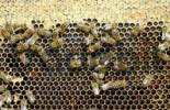 Thumbnail Bees sipping from honey on honeycomb with covered honeycells above and cells filled with pollen and honey below
