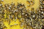 Thumbnail bees upon freshly constructed honeycomb filled with honey in the upper section and ready to take up eggs in the lower section of the picture