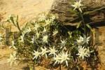 Thumbnail Edelweiss Leontopodium alpinum