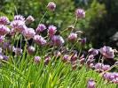 Thumbnail BRD Germany Bavaria Upper Bavaria Pähl Parsons Region flowering Leek in Garden