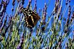 Thumbnail Southafrika Cape Town Butterfly at Blossoms