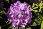 Thumbnail blooming Rhododendron