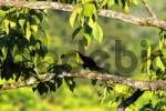 Thumbnail Keel billed Toucan, Ramphastos sulfuratus, Costa Rica