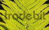 Thumbnail Leaf of dryopteris filis mas in backlight