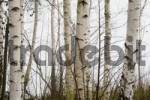 Thumbnail birches in the fog