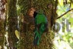 Thumbnail Resplendent Quetzal Pharomachrus mocinno, female at nest, Los Quetzales National Park, Costa Rica