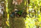 Thumbnail Resplendent Quetzal Pharomachrus mocinno, male in nest, Los Quetzales National Park, Costa Rica