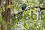 Thumbnail Resplendent Quetzal Pharomachrus mocinno, male, Los Quetzales National Park, Costa Rica