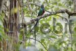 Thumbnail Resplendent Quetzal Pharomachrus mocinno, male, Los Quetzales National Park, Costa Rica
