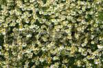 Thumbnail Field with German Chamomile Matricaria chamomilla
