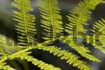 Thumbnail fern leaf with spores Dryopteris Germany