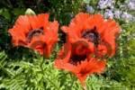Thumbnail Oriental poppy seed Papaver orientale