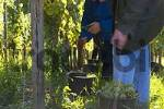 Thumbnail wine harvest Franconia Bavaria Germany