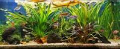 Thumbnail freshwater aquarium with Goyder River Rainbowfishes