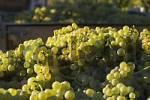 Thumbnail wine harvest Franconia Bavaria Germany
