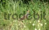 Thumbnail Grey Partridge, perdix perdix