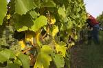 Thumbnail grape harvest at vineyard Frickenhausen - Franconia Bavaria Germany