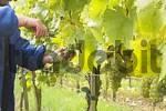Thumbnail grape harvest at vineyard Frickenhausen - Franconia Bavaria Germany
