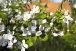 Thumbnail blossom apple tree