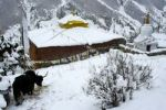 Thumbnail Deeply snowed in monastery Thare Gompa with Yak Khangsar Annapurna Region Nepal