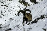 Thumbnail Himalayan blue sheep Bharal Pseudois nayaur in the snow with big horns near Thorung Phedi Annapurna Region Nepal