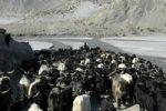 Thumbnail Herd of goats move into the Kali Gandaki River valley near Jomsom Mustang Annapurna Region Nepal
