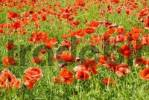 Thumbnail Fallow field sparkled red by poppy flowers, papaver rhoeas L Papaveraceae swaying in the wind
