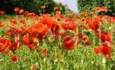 Thumbnail Fallow field sparkled red by poppy flowers, papaver rhoeas L Papaveraceae