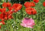 Thumbnail Flowers of red and pink poppies, papaveraceae rhoeas L Papaveraceae in back light