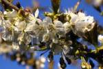 Thumbnail blossom cherry tree