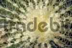 Thumbnail Cactus Echinocactus grusonii