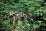 Thumbnail European Wild Cat Felis silvestris silvestris two kitten in forest, Bayrischer Wald National Park.