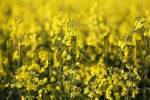 Thumbnail field of rapeseed Brassica napus