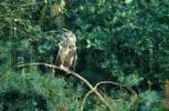 Thumbnail Eagle owl