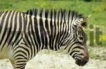 Thumbnail zebra in zoo of Herberstein Austria
