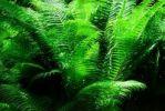 Thumbnail Fern forest