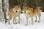 Thumbnail European wolfs (Canis lupus lupus) in winter, Wildpark Poing wildlife park, Bavaria, Germany, Europe