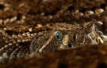 Thumbnail Mexican rattlesnake