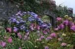 Thumbnail hydrangea in front of Walled Garden in Inverewe Garden in Scotland Great Britain
