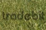 Thumbnail field of unripe spelt grain, Triticum spelta