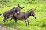 Thumbnail Donkeys, pair mating, Equus asinus, Germany