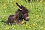 Thumbnail Donkey foal resting, Equus asinus, Bavaria Germany