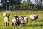 Thumbnail Black-headed sheep, Upper Bavaria, Germany