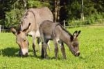 Thumbnail Donkey with foal, Equus asinus, Bavaria, Germany