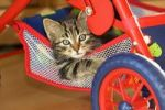 Thumbnail young domestic cat in dolls pram