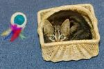 Thumbnail young domestic cat in basket, Germany