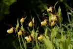 Thumbnail Lady's Slipper (Cypripedium calceolus), orchid of the year 2010