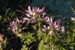 Thumbnail wild Spider flower Cleome tucumanensis with pink blooms, Gran Chaco, Paraguay